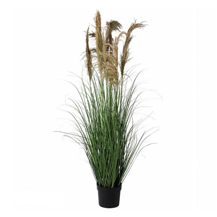 Pampas Grass Plant