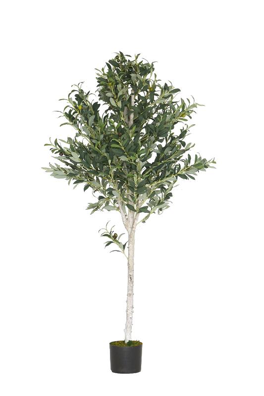 Green Olive Tree